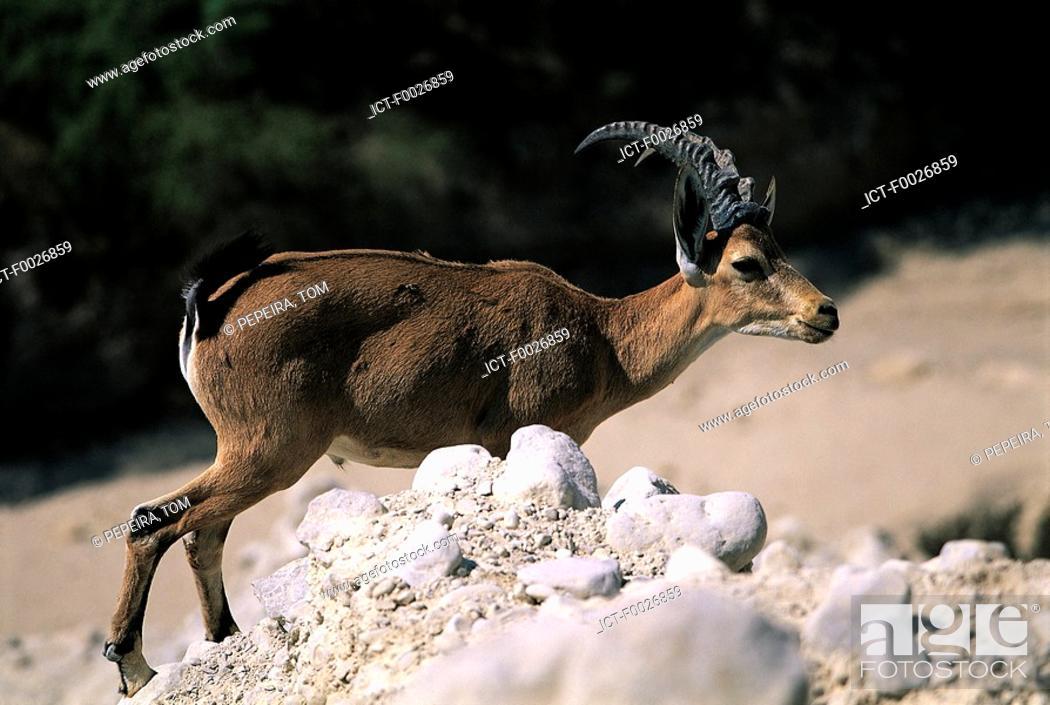 Stock Photo: Israel, near the Dead Sea, antelope.