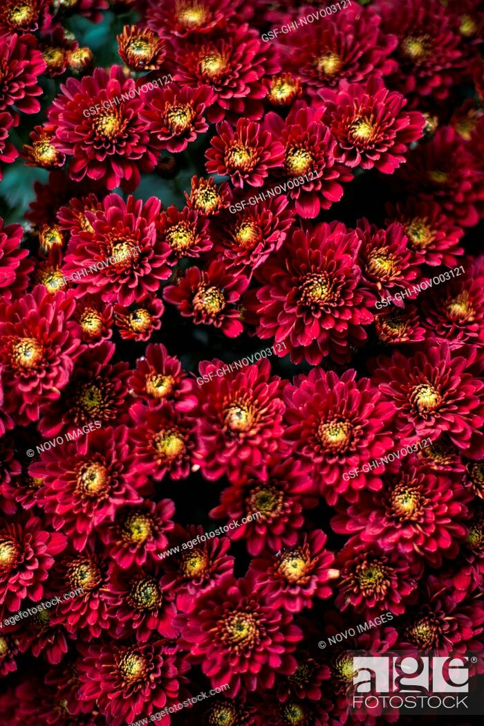 Imagen: Red Chrysanthemum Flowers, High Angle View.