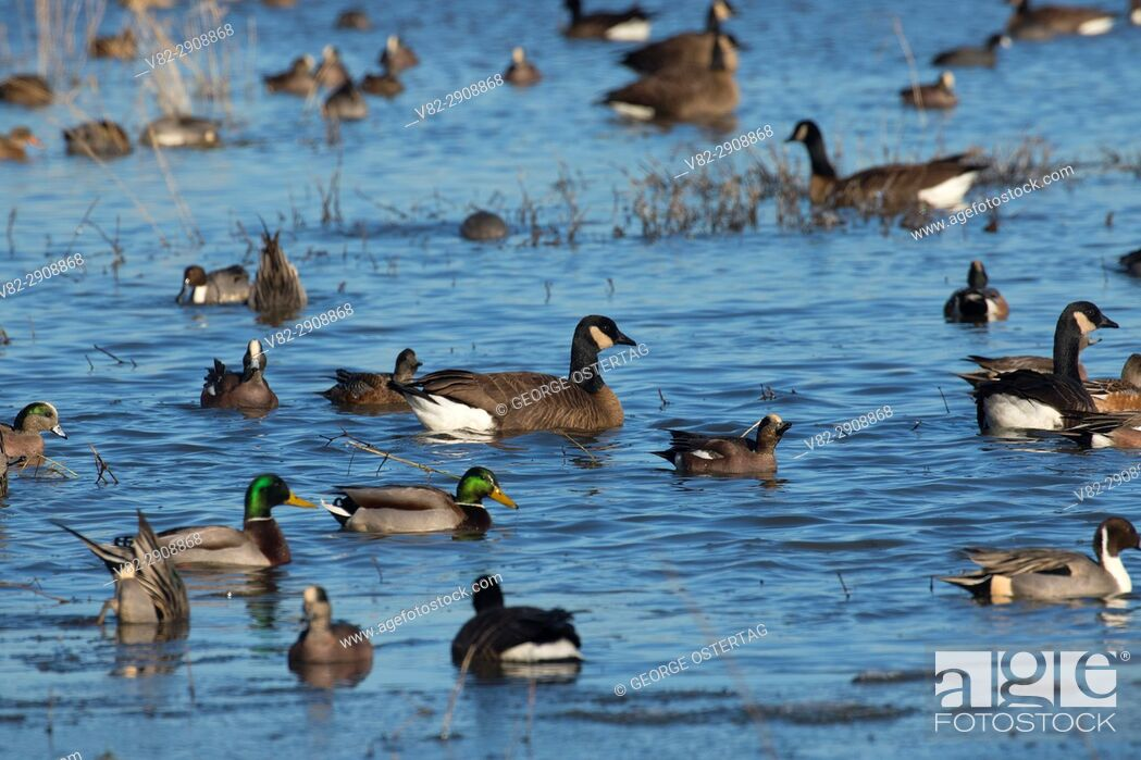 Stock Photo: Winter waterfowl at McFadden Marsh, William Finley National Wildlife Refuge, Oregon.