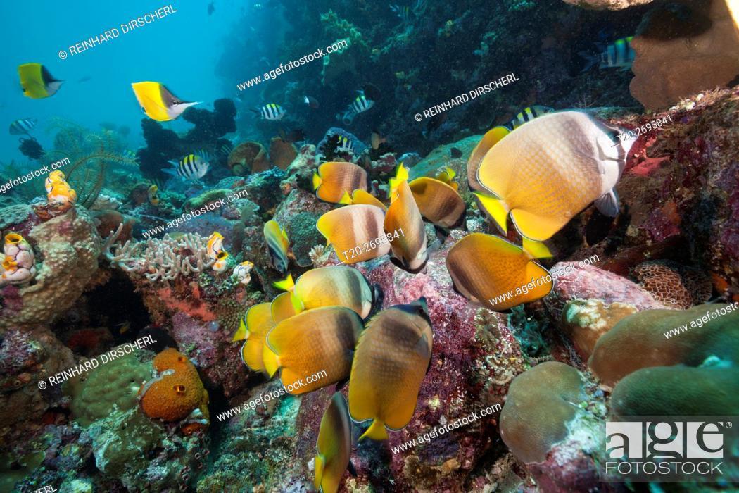 Stock Photo: Butterflyfishes feeding on Fish Spawn, Chaetodon kleinii, Ambon, Moluccas, Indonesia.