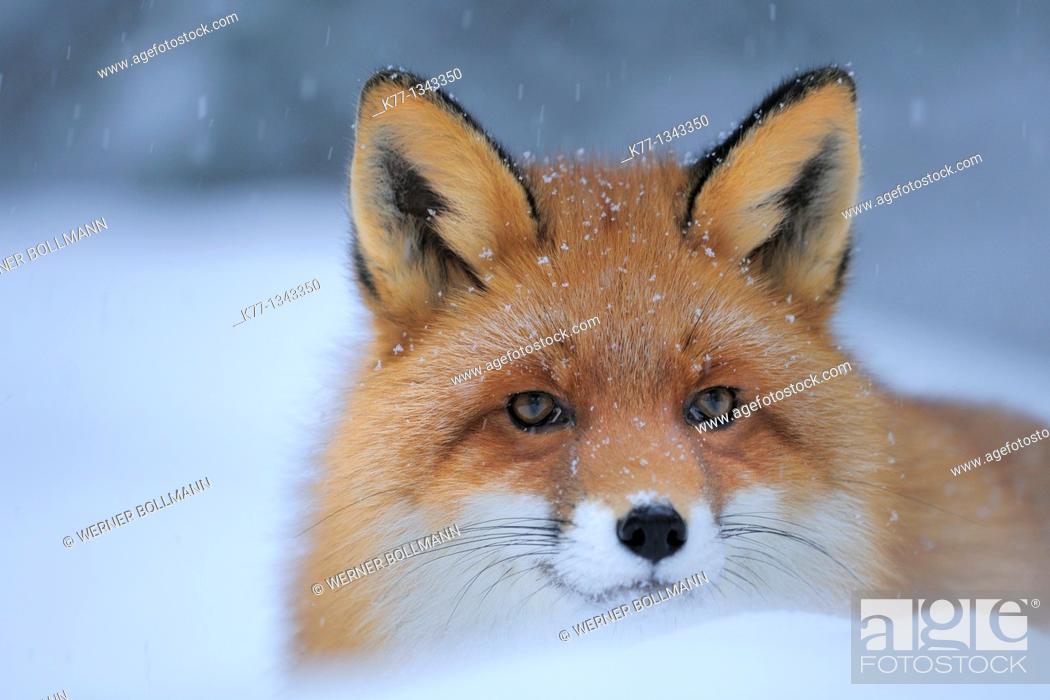 Stock Photo: Red Fox (Vulpes vulpes), Captive, Norway, February 2010.