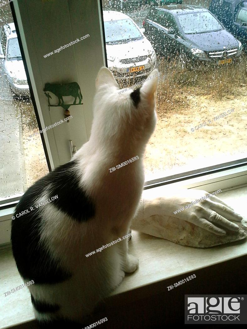 Stock Photo: White and black European shorthair kitten sitting on windowsill, looking out window on a rainy day.