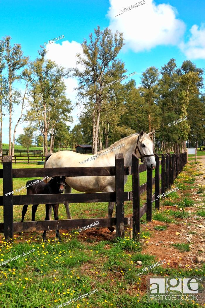 Stock Photo: Thoroughbred white horse with a charming black colt.