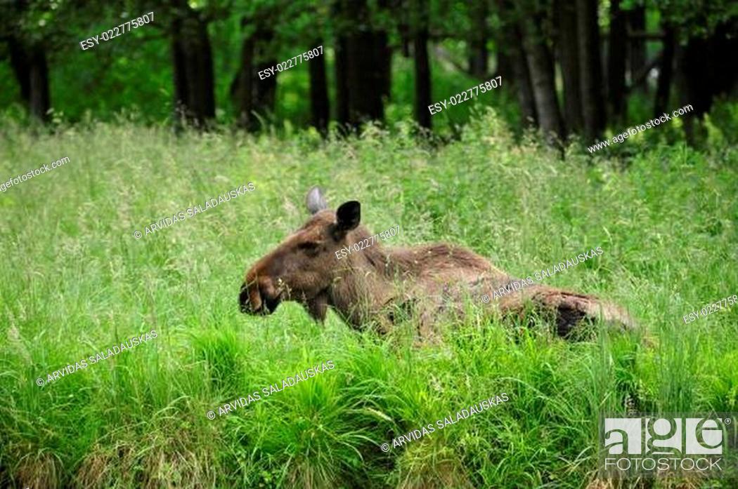 Stock Photo: Der Elch (Alces alces).