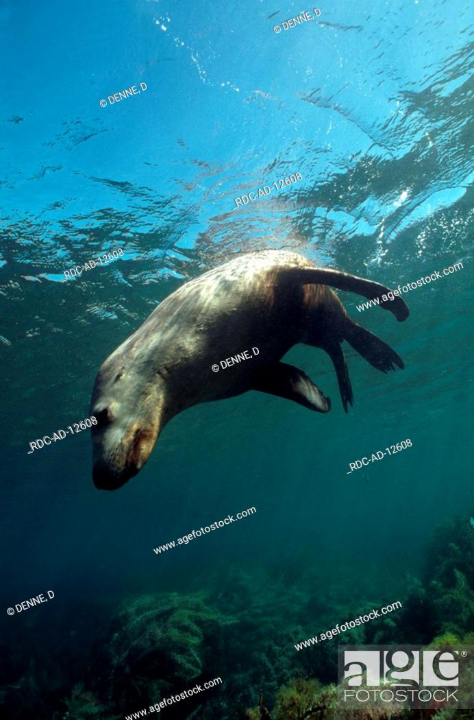 Stock Photo: Australian Sea Lion Hopkins Island South Australia Neophoca cinerea side.