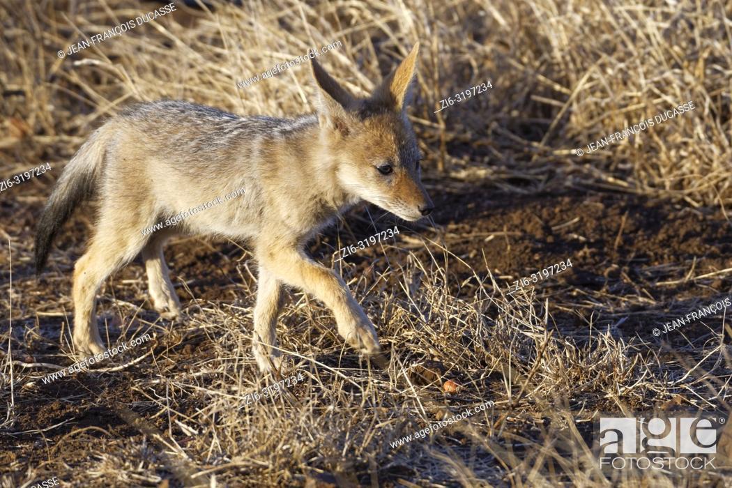 Stock Photo: Black-backed jackal (Canis mesomelas), cub, walking on arid ground, Kruger National Park, South Africa, Africa.