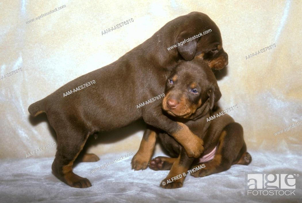 Stock Photo: Doberman Pinscher Puppy (Canis familiaris) Bergenfield, NJ.