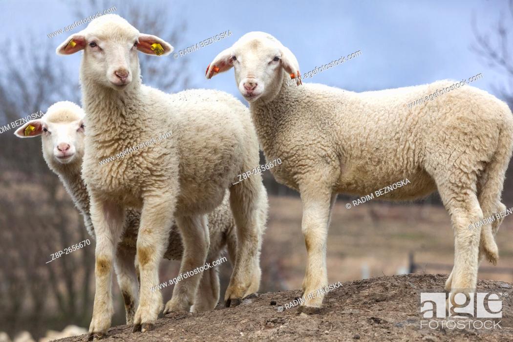 Imagen: three lambs on the farm.