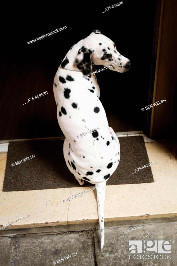 Stock Photo: Dalmatian.