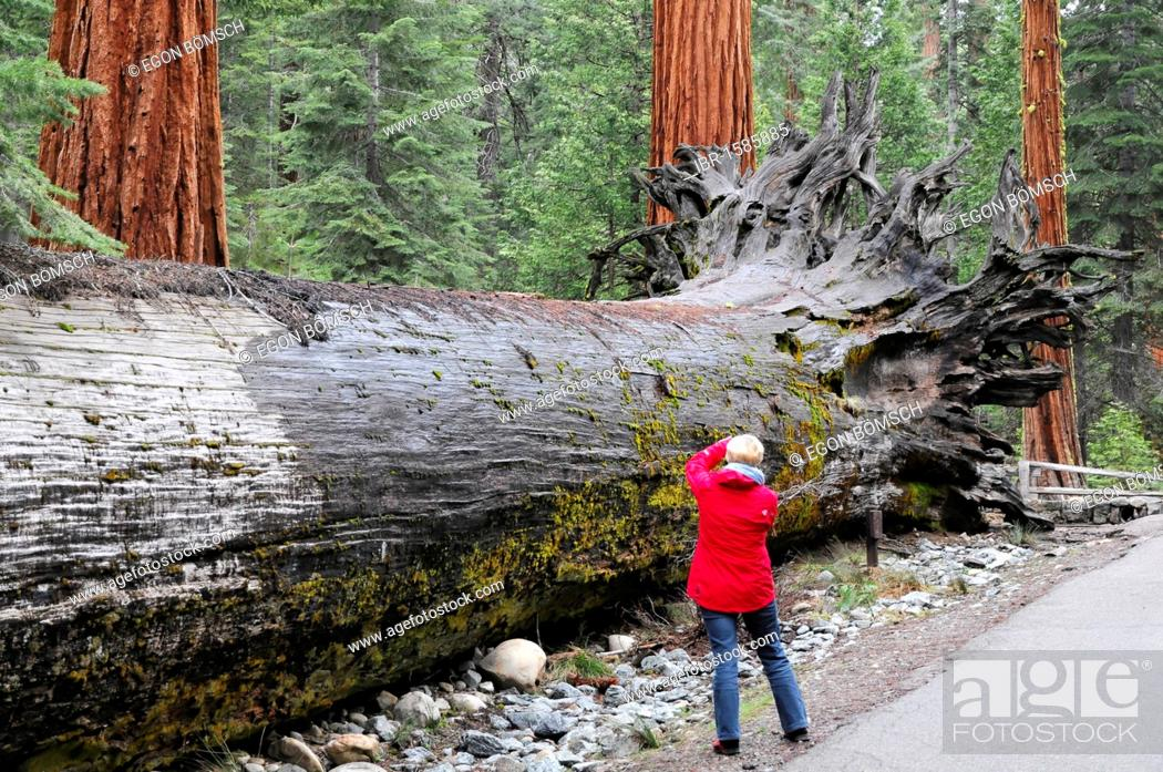 Imagen: Sequoias trees in Mariposa Grove, Yosemite National Park, California, USA, North America.