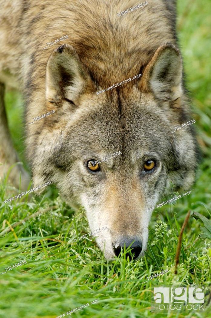 Stock Photo: Portrait of european grey wolf (Canis lupus) captive.
