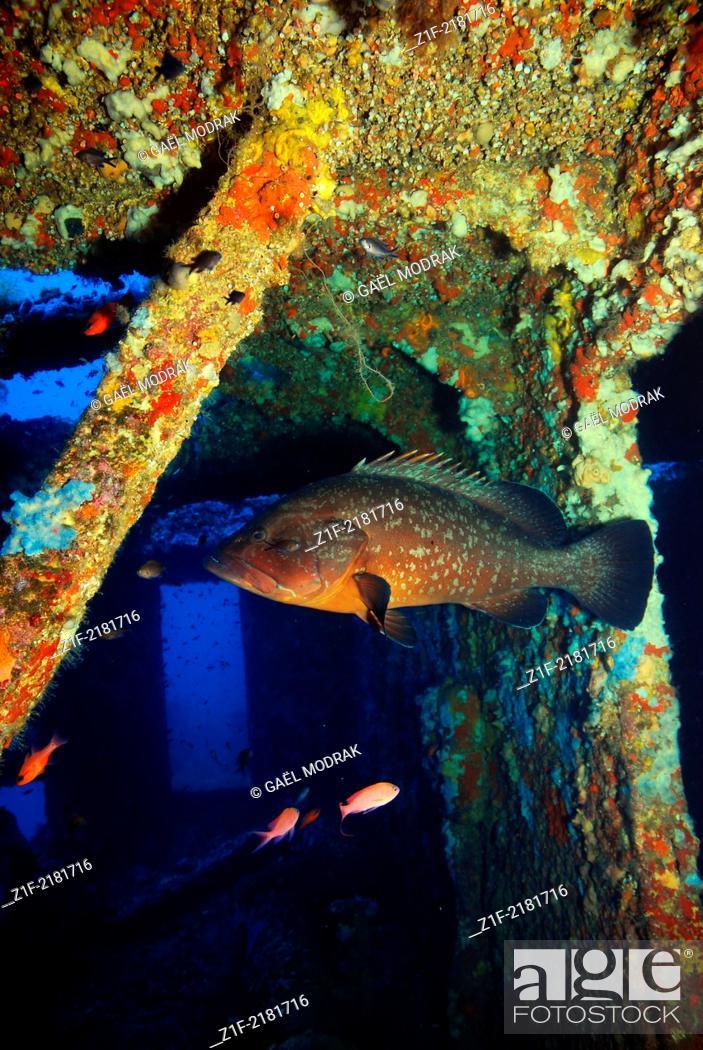 Stock Photo: Dusky grouper haunting a wreck in the mediterranean sea. Epinephelus marginatus.