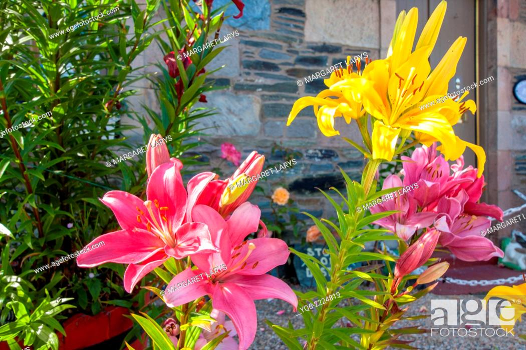 Stock Photo: Beautiful hemerocallis, Daylily, yellow and red lilies, in front of a house.