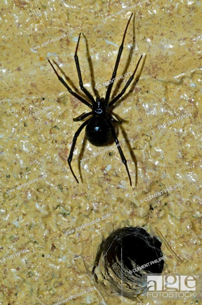 Imagen: Western black widow spider / western widow (Latrodectus hesperus) female leaving burrow in wall, native to western North America.