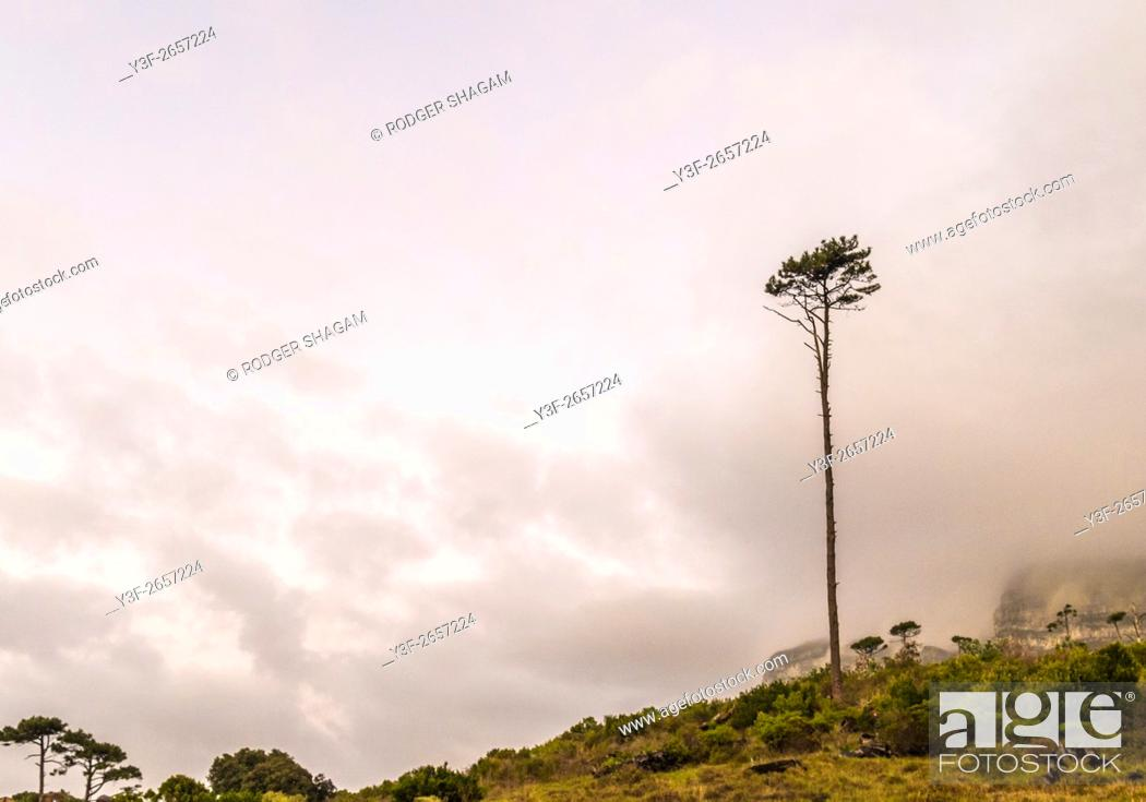 Stock Photo: Lone pine tree stands tall on a mountainside. Newlands forest, Cape Town, South Africa.