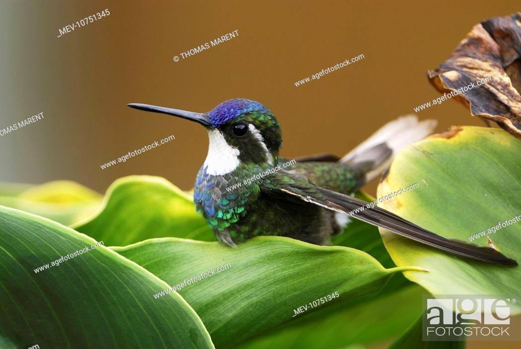 Stock Photo: Gray-tailed Mountain-gem Hummingbird (Lampornis cinereicauda).