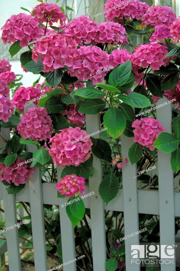 Stock Photo: French hydrangea.