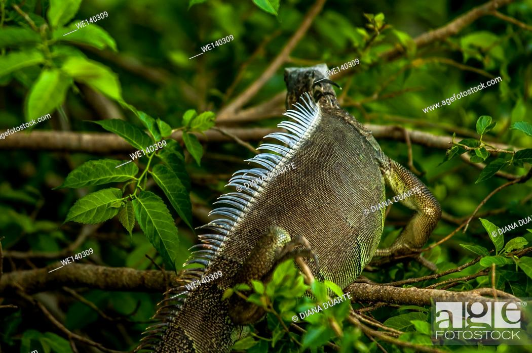 Stock Photo: 'Green Iguana ( Iguana iguana )'. This iguana has a long body covered with soft leathery scales, a long tail and short legs.