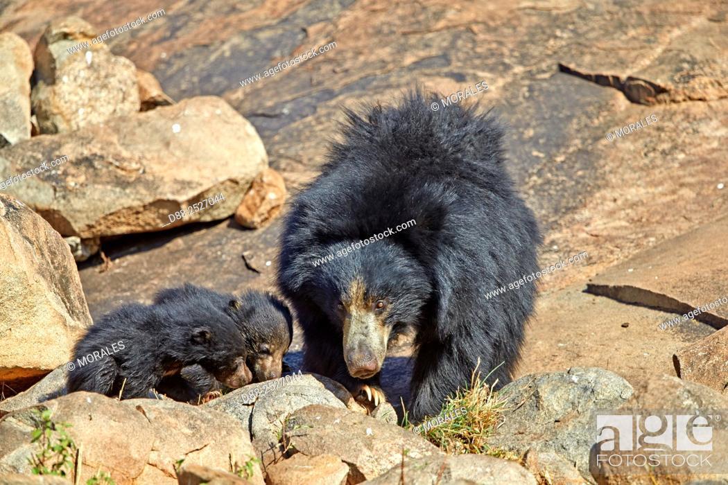 Imagen: Asia, India, Karnataka, Sandur Mountain Range, Sloth bear Melursus ursinus, mother with baby, mother carrying babies on the back.
