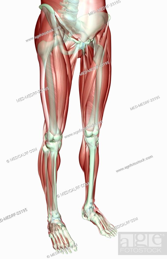 Stock Photo: The musculoskeleton of the lower body.