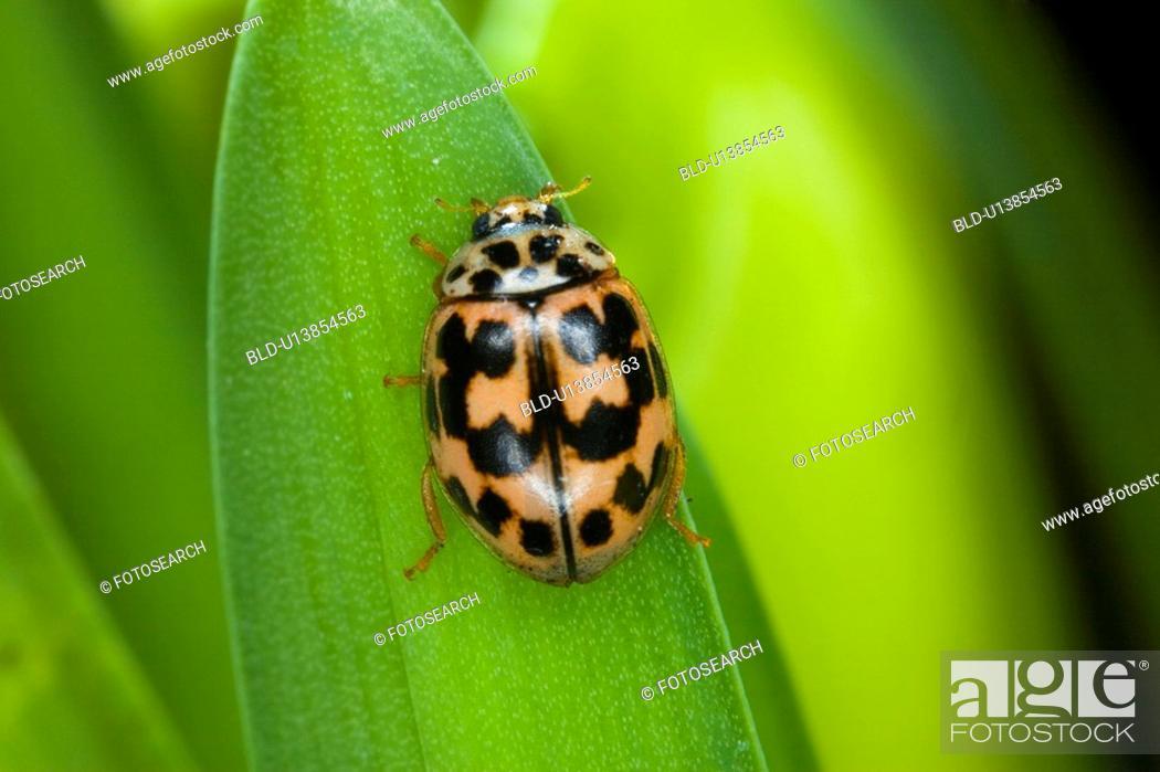 Stock Photo: Lady bug beetle on a leaf.