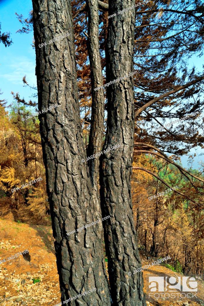 Stock Photo: Burnt tree trunk, Sitla Estate, Nainital, Kumaon, Uttarakhand, India, Asia.