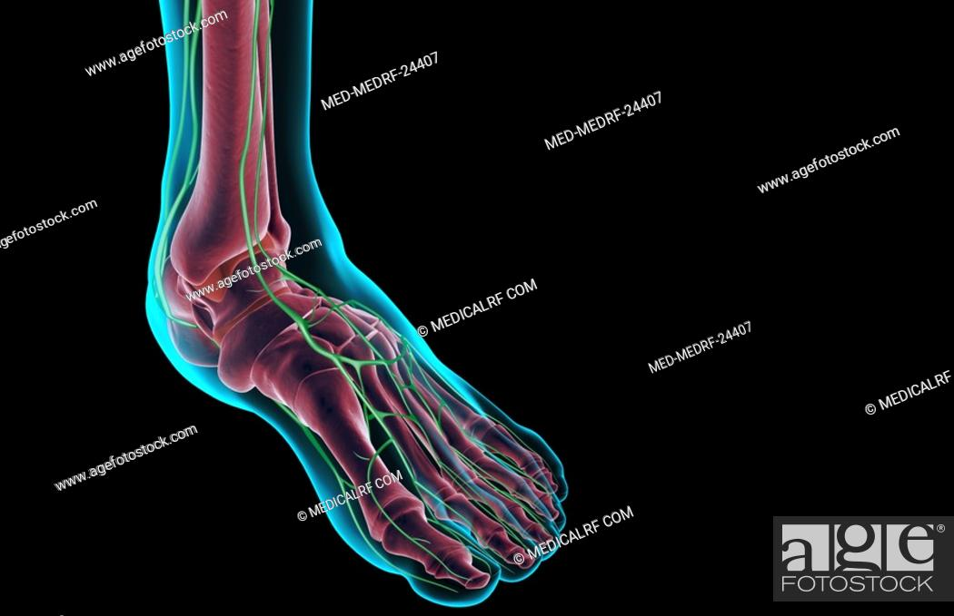 Stock Photo: The lymph supply of the foot.