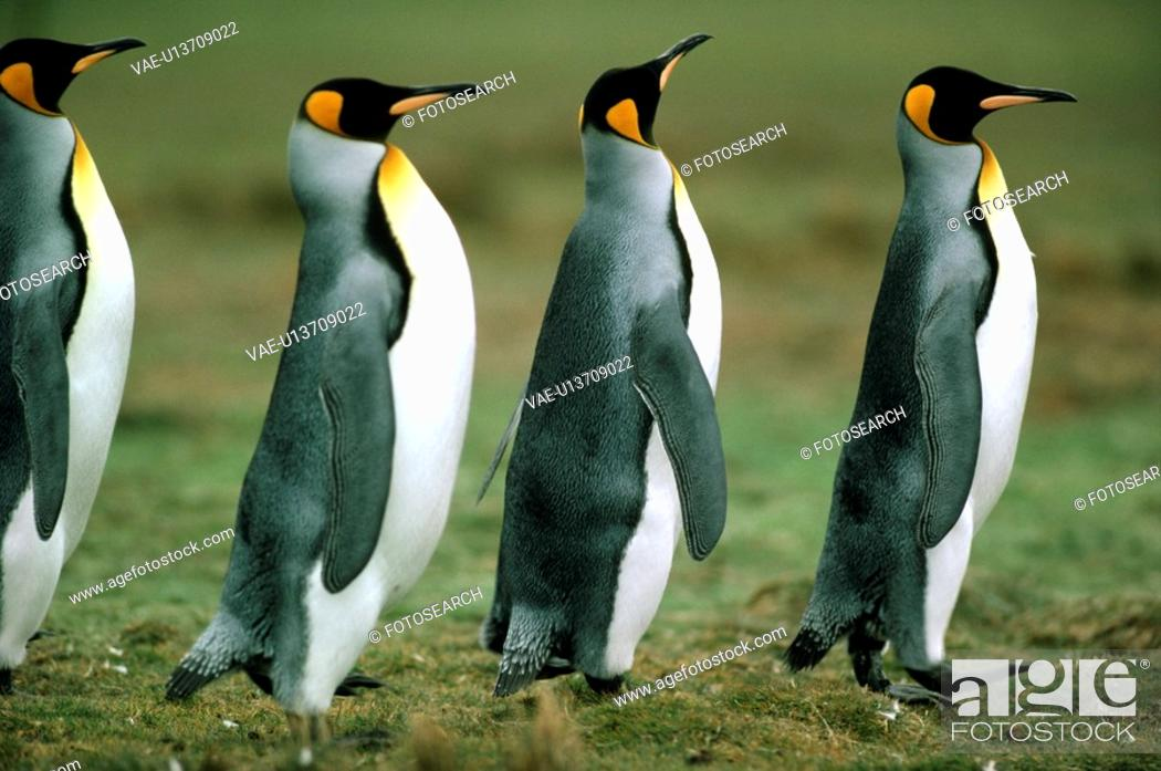 Stock Photo: Penguin.