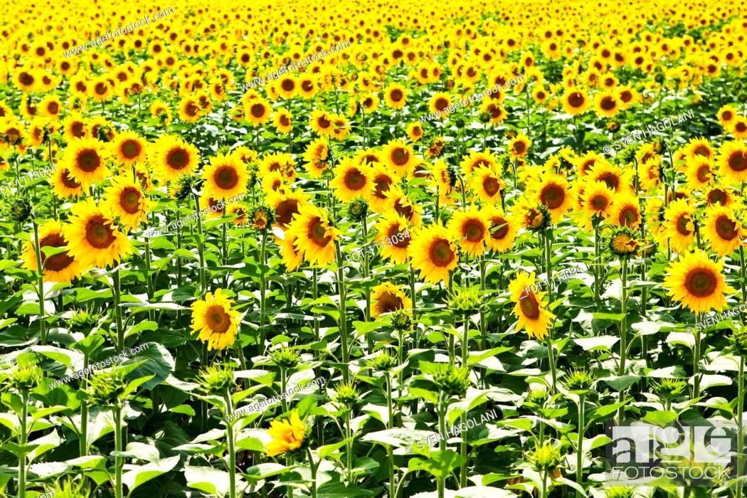 Stock Photo: A field of sunflowers.
