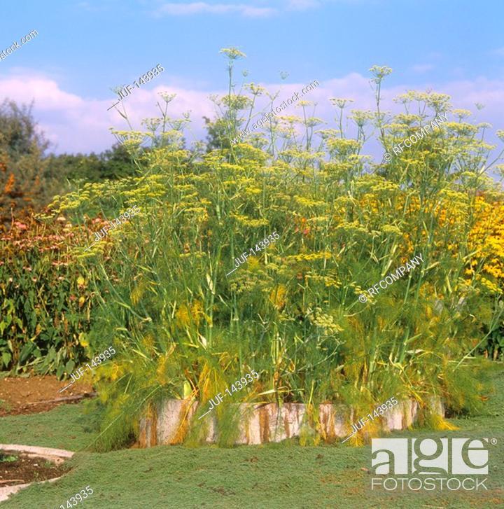 Stock Photo: fennel / Foeniculum vulgare.