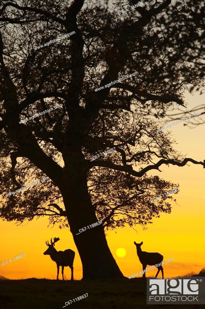 Stock Photo: Red Deer Cervus elaphus Norfolk.