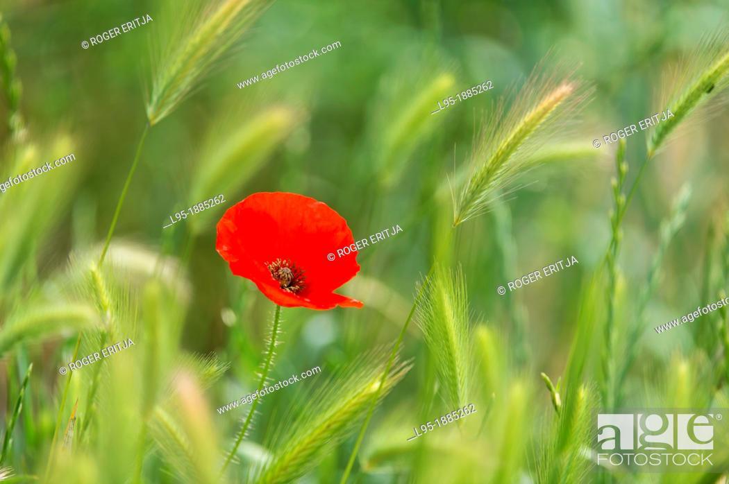 Stock Photo: Red Poppies Papapver rhoeas in Wheat field, Spain.