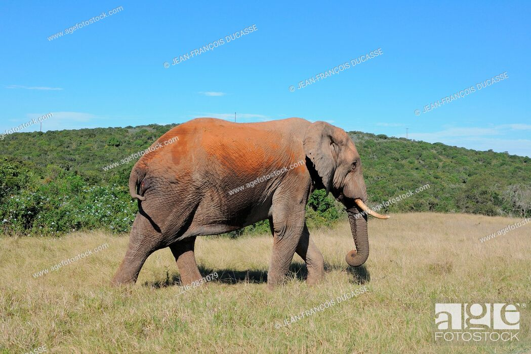 Stock Photo: African bush elephant (Loxodonta africana), bull walking on grass, Addo Elephant National Park, Eastern Cape, South Africa, Africa.