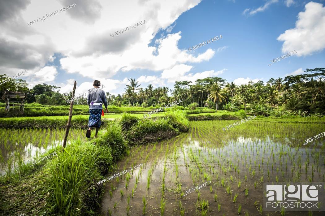 Stock Photo: Indonesian farmer in Bedulu rice paddies (Gianyar Regency, Bali, Indonesia).