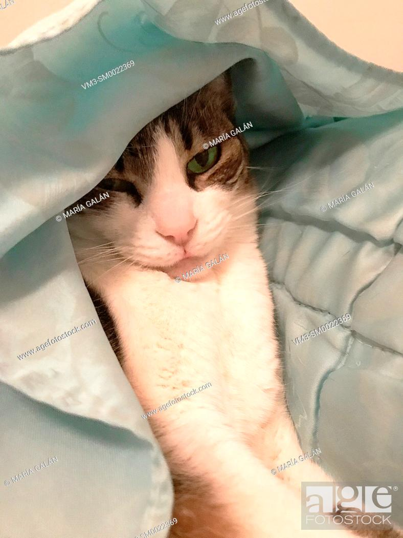 Imagen: Tabby and white cat hidden under the duvet.