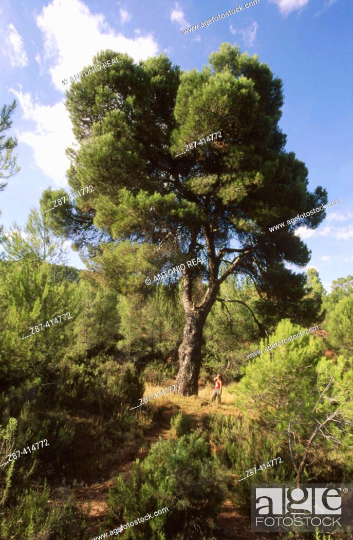 Stock Photo: Pine (Pinus halepensis). Enguídanos. Cuenca province. Castilla la Mancha. Spain.