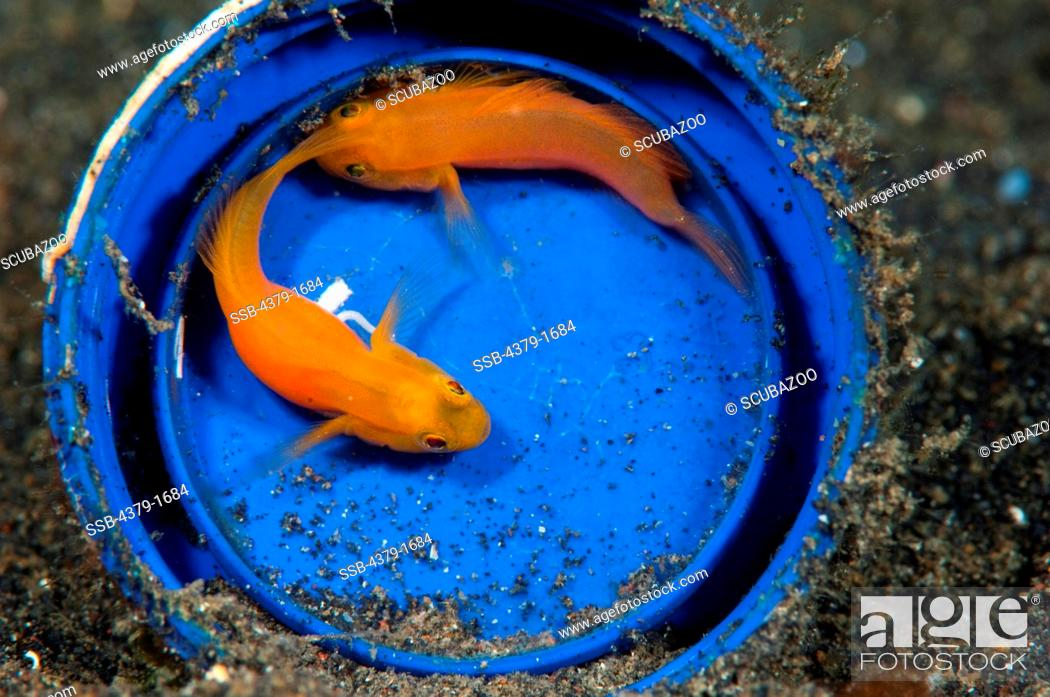 Stock Photo: Yellow Pygmy-Goby (Lubricogobius exiguus) pair in blue bucket with eggs, Lembeh Strait, Sulawesi, Indonesia.