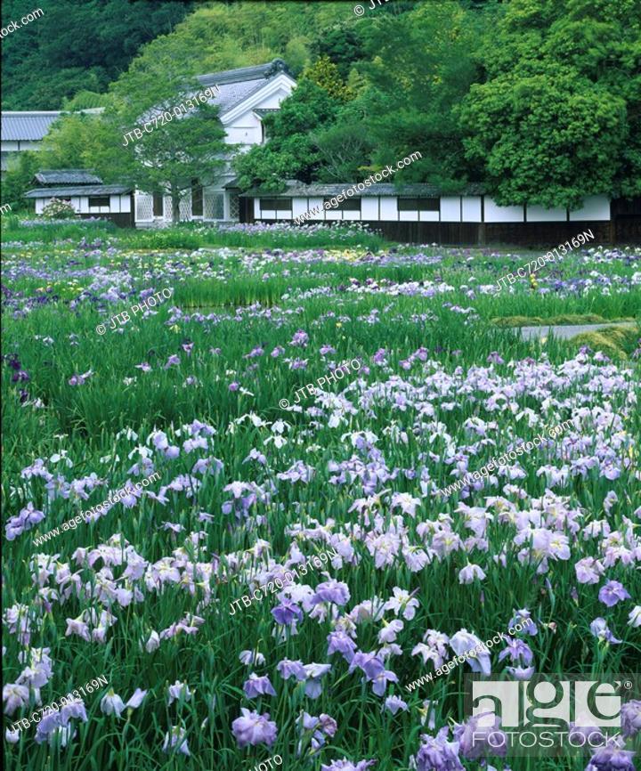Stock Photo: Kamo-hana-shobu Japanese iris garden, Japanese iris, flower, Kakegawa, Shizuoka, Japan.