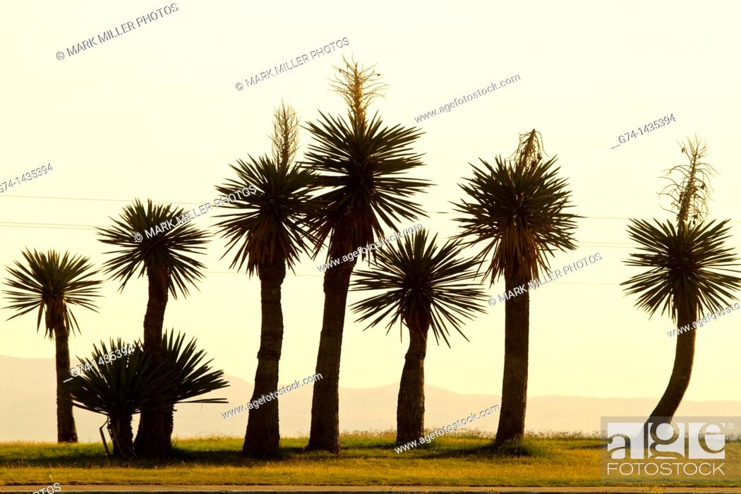 Stock Photo: Yucca Cactus plants at sunrise along highway I-10 near Van Horn in west Texas, USA.