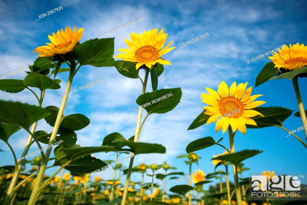 Stock Photo: Sunflowers in Jarrettsville Maryland.