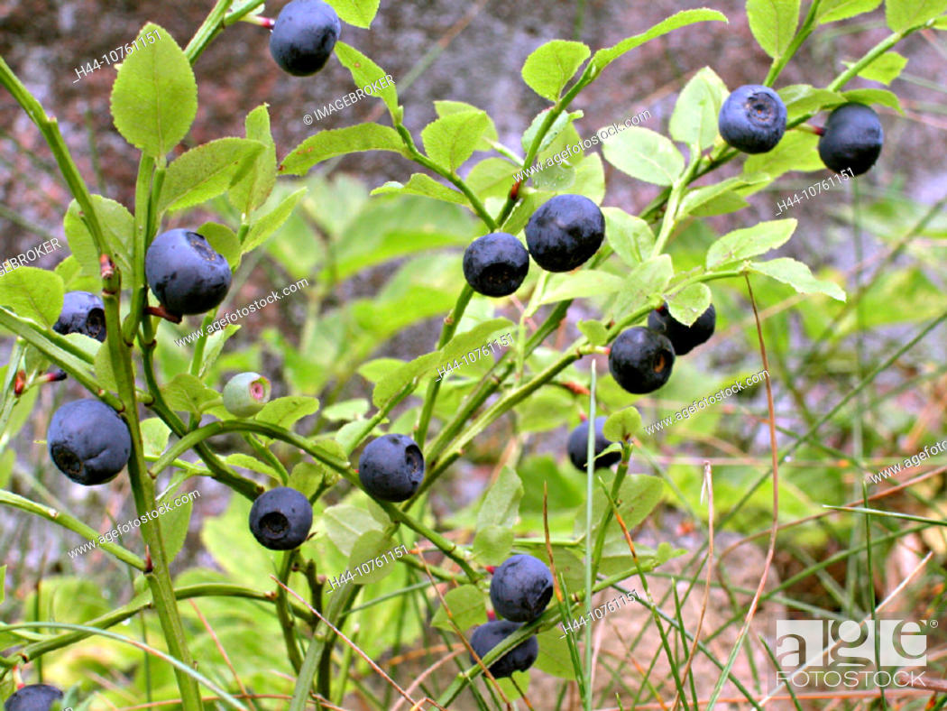 Stock Photo: 10761151, berry, berries, close up, food, feeding, food, eating, harvest, crop, Finland, healthy, blueberry, low-calorie, macr.