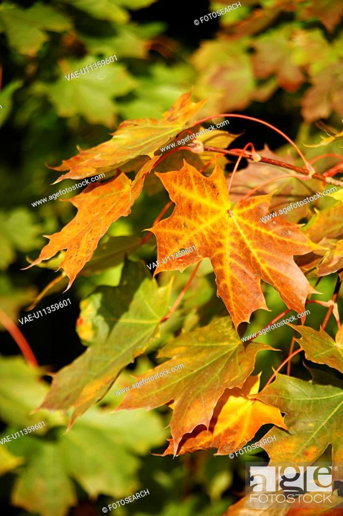 Stock Photo: autumn-like, ahornblaetter, autumn, alfred, ahorngewaechse, aceraceae.