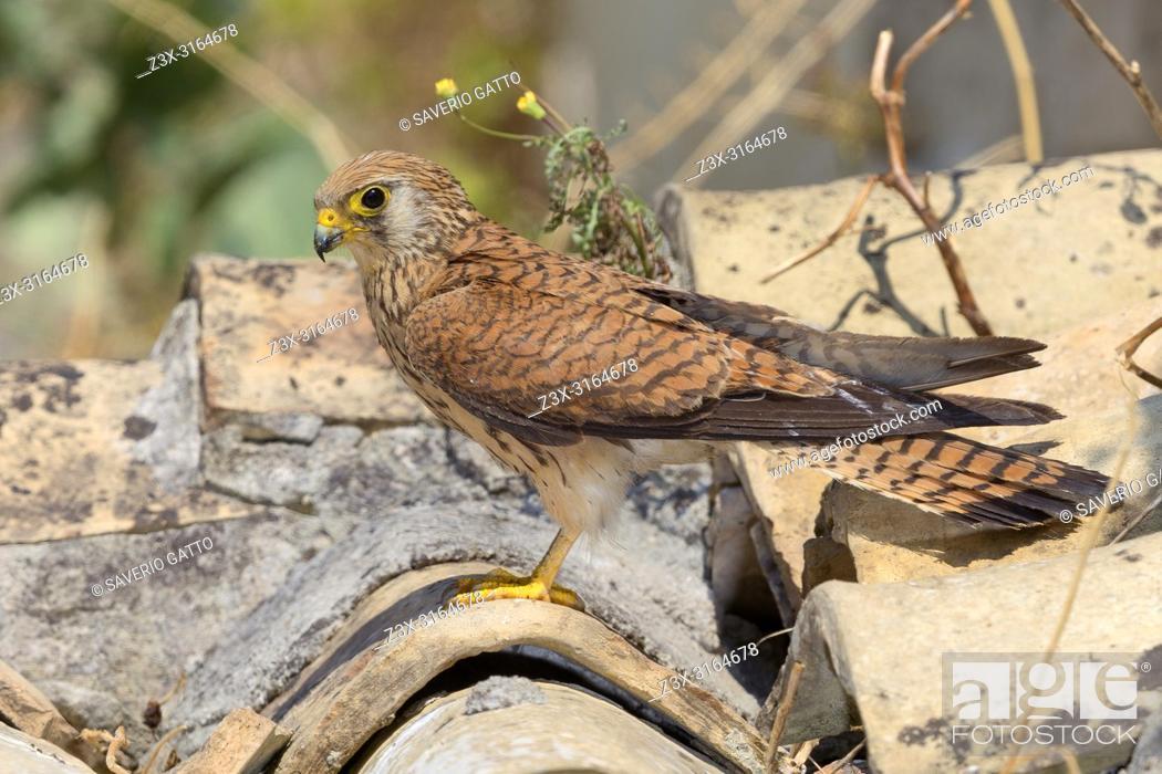 Stock Photo: Lesser Kestrel, female, Adult, Matera, Basilicata, Italy (Falco naumanni).
