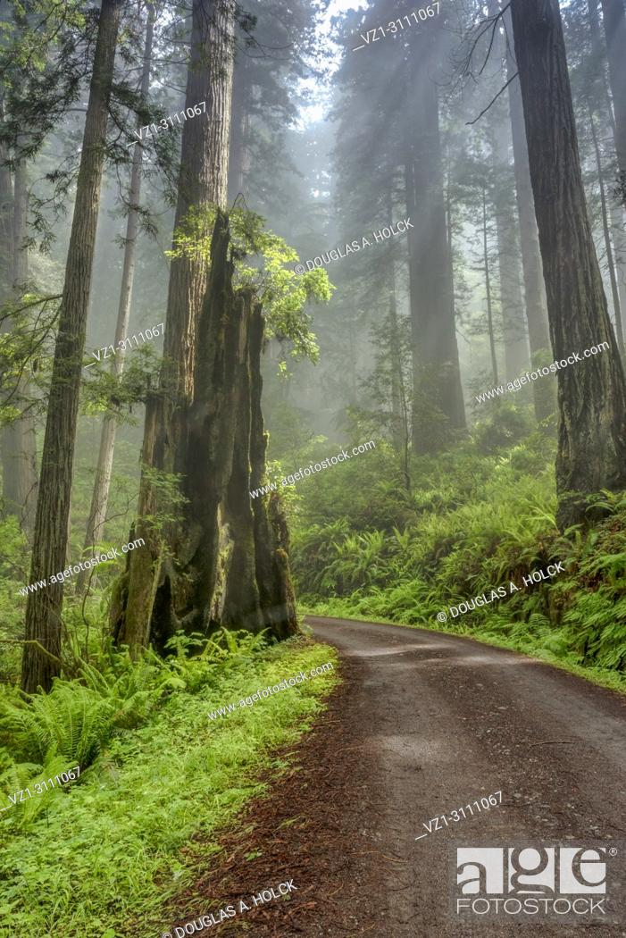 Stock Photo: Shine shines through clouds on Cal Barrel Road in Prarie Creek Redwoods State Park, California, USA.