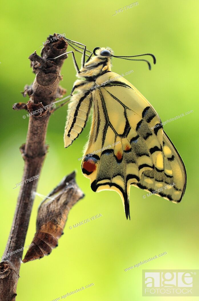 Stock Photo: Newly hatched swallowtail butterfly Papilio machaon.