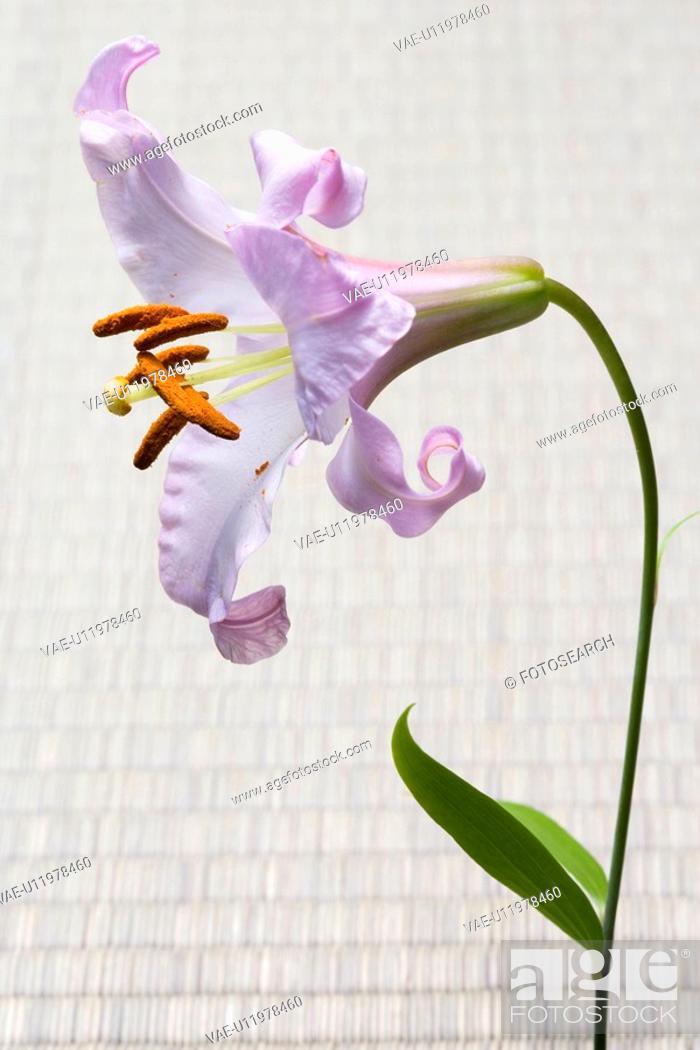 Stock Photo: Lilium japonicum.