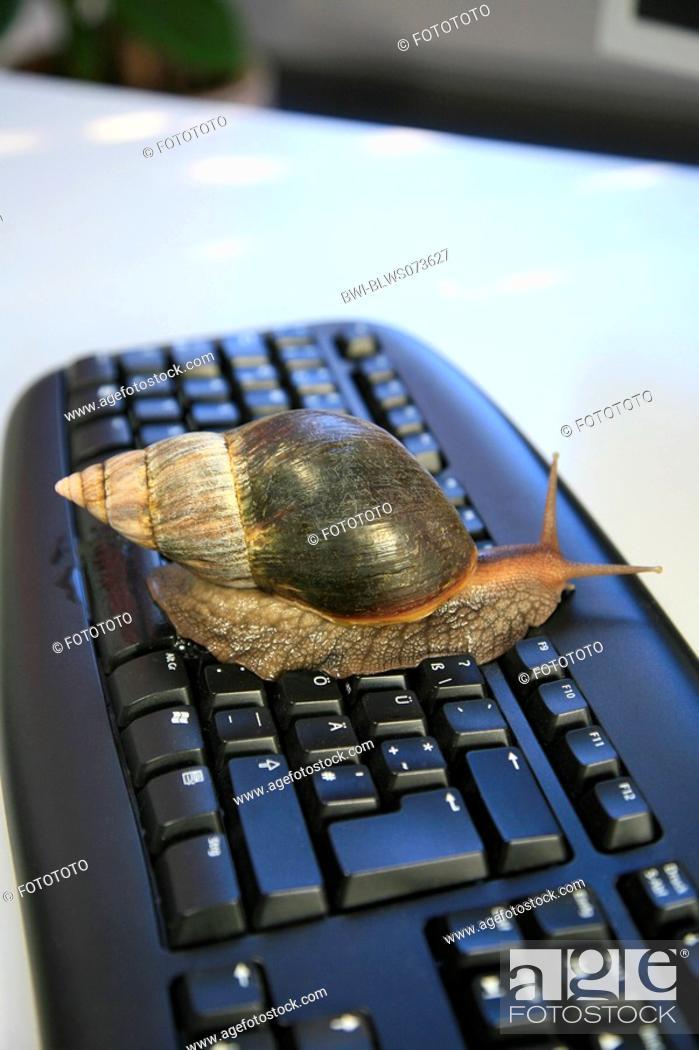 Stock Photo: brown garden snail, brown gardensnail, common garden snail, European brown snail Helix aspersa, Cornu aspersum, Cryptomphalus aspersus.