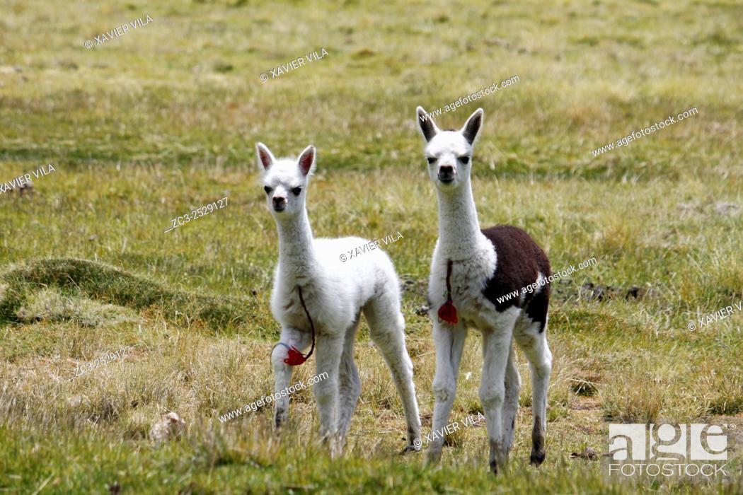 Stock Photo: Young lamas, National park of Sajama, Altiplano, Bolivia.