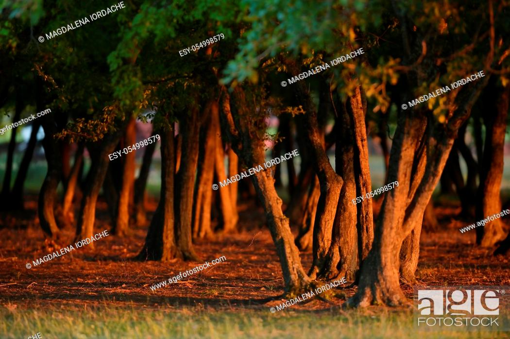 Stock Photo: Old Oak Forest with Sunset Light in Summer.