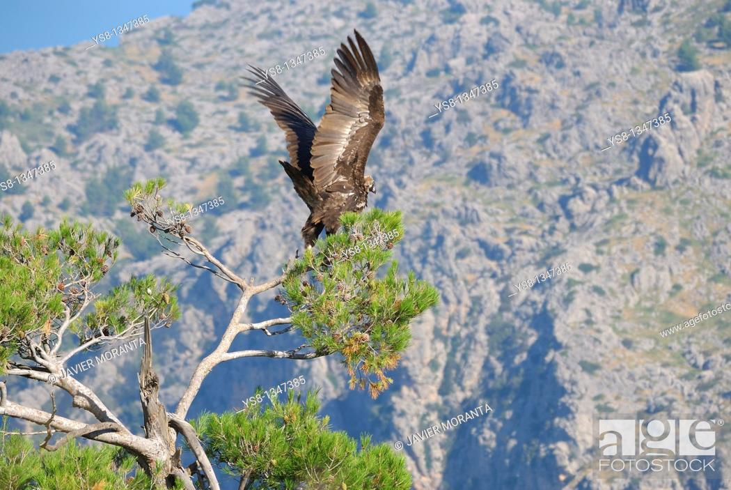 Imagen: Spain, Balearic Islands, Mallorca, black vulture Aegypius monachus adult taking flight.
